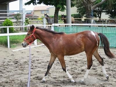 新馬調教 輪乗り駈歩での身体の使い方を知る