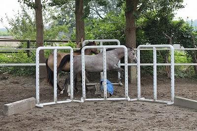 放牧中に自分で障害を飛んで遊ぶ馬スフレ