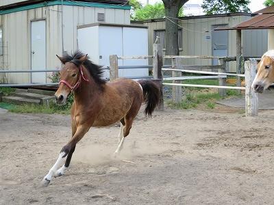 新馬調教 放牧で他の馬と馴らす