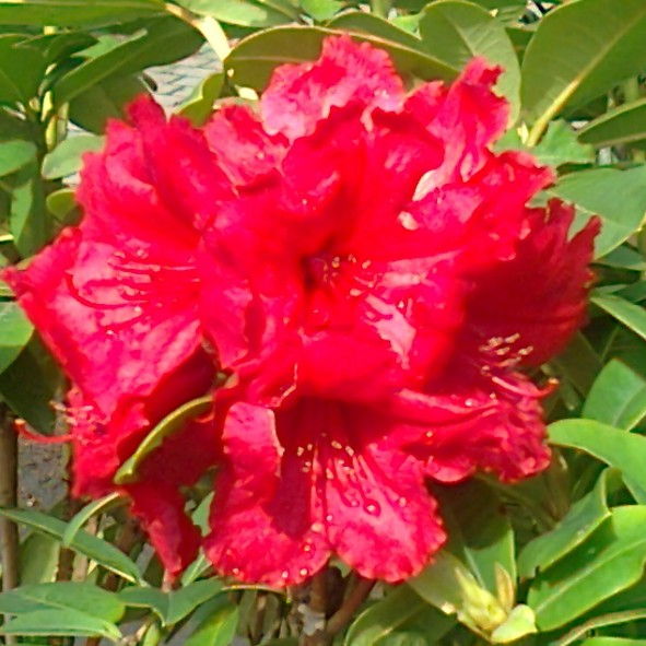 Red Jack