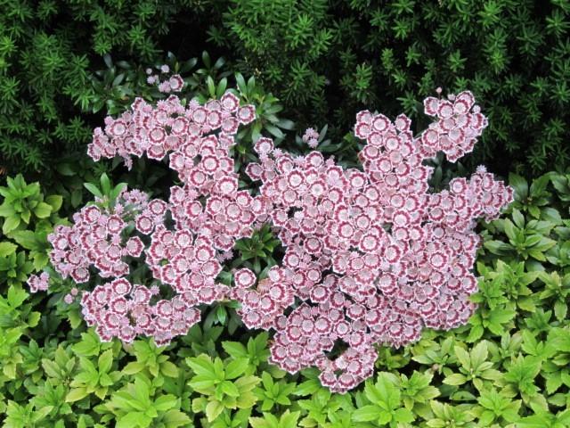 Kalmia latifolia Minuet