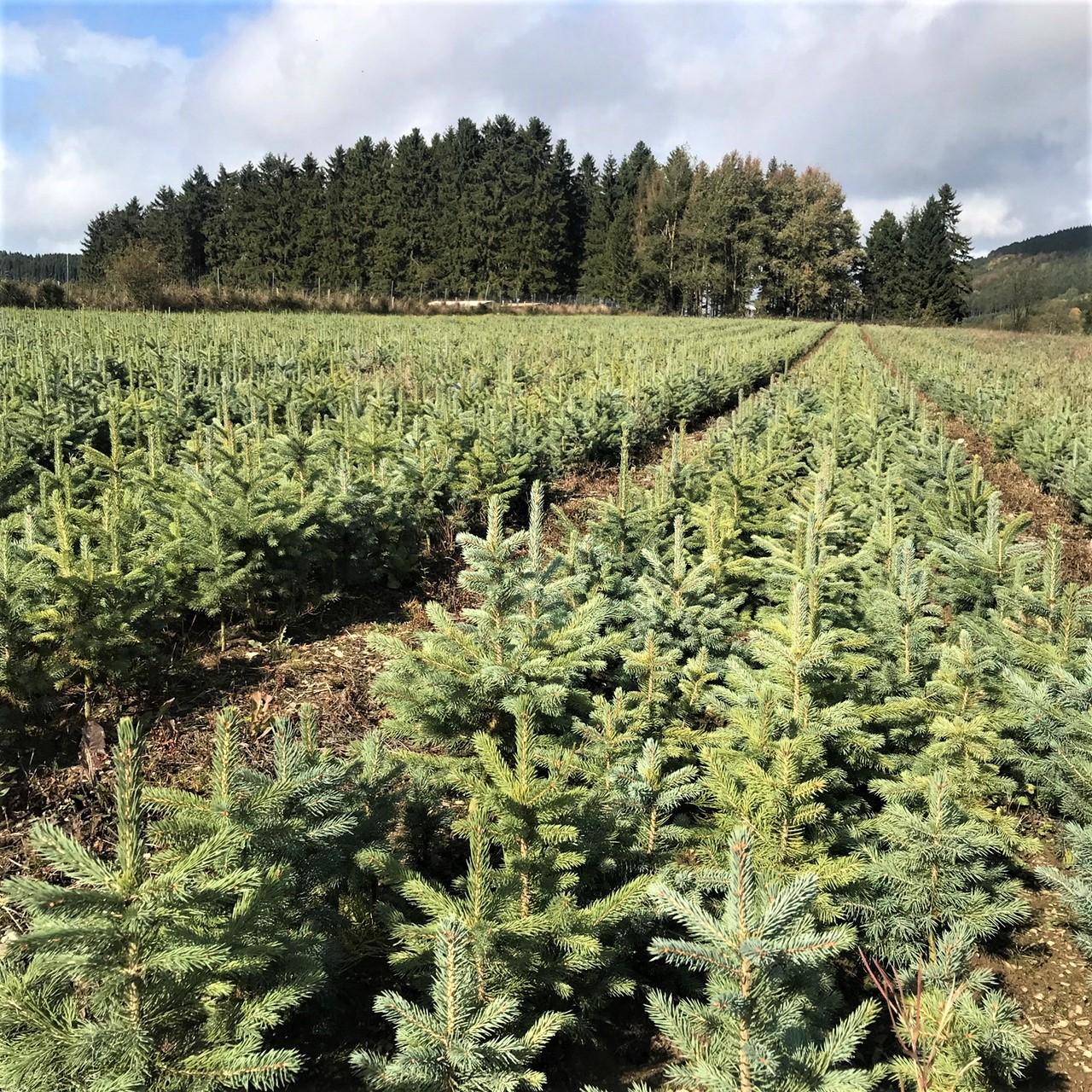 Blaufichten-Mini-Weihnachtsbäume