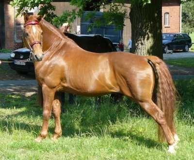 """In der amerikanischen """"Park Position"""" auf der Morgan Horse Zuchtschau"""