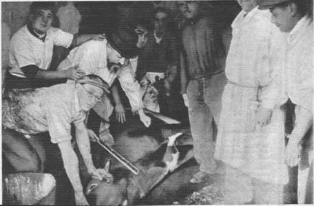 Esta otra curiosísima fotografía representa el momento en que se dispone a sacrificar un novillo