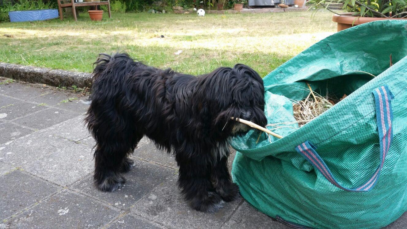 Chara mit 8 Monaten hilft fließig im Garten :-)