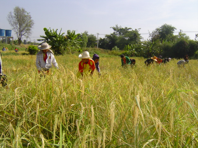 Children planting and harvesting rice