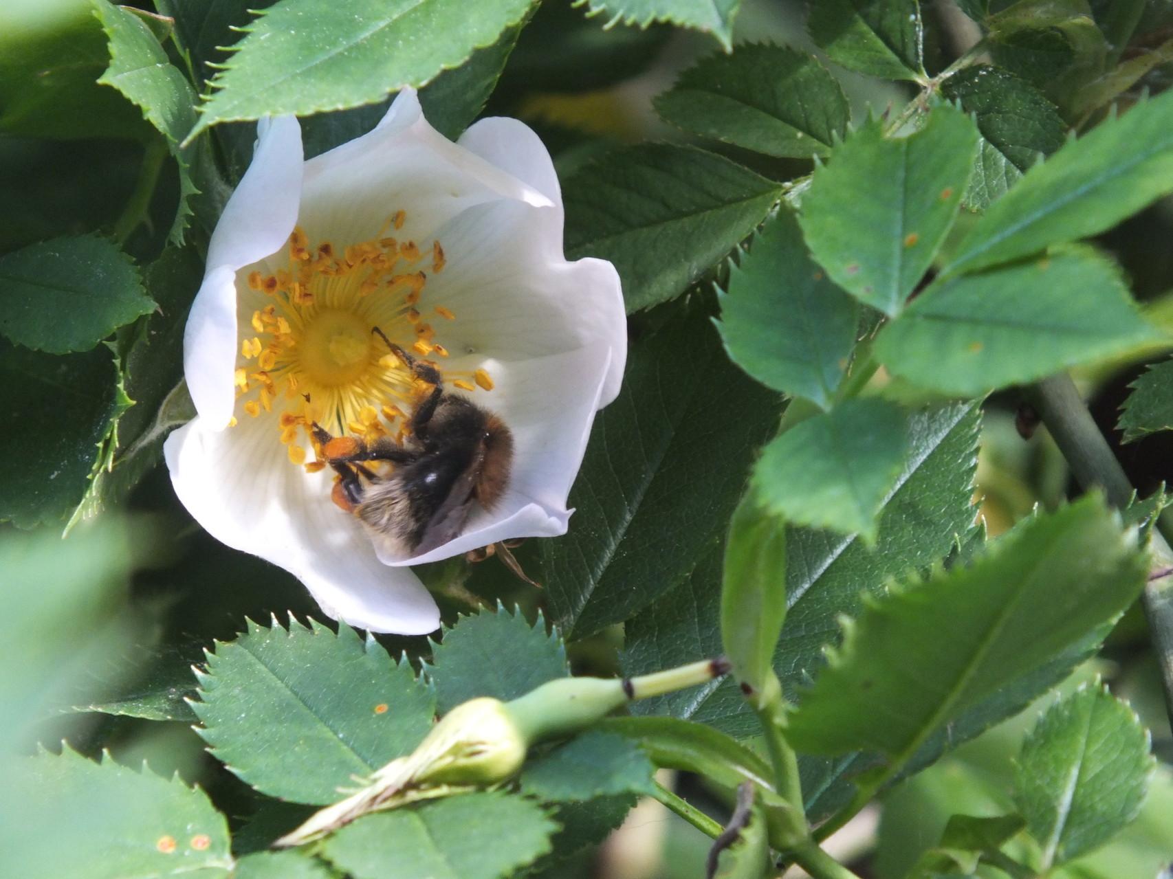 Heckenrose (Rosa corymbifera)