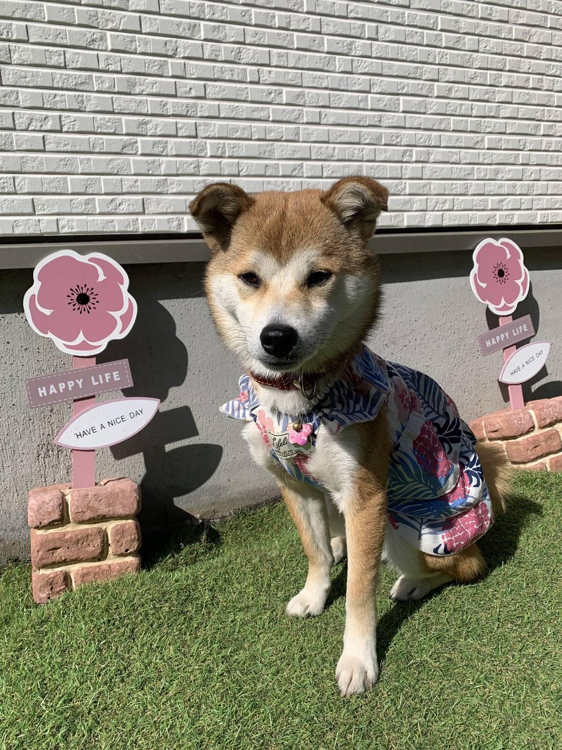 ellie/柴犬×シーズー