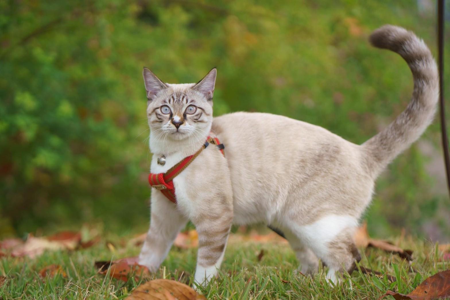 ネル/洋猫ミックス