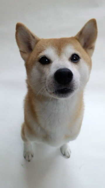 累(るい)/柴犬