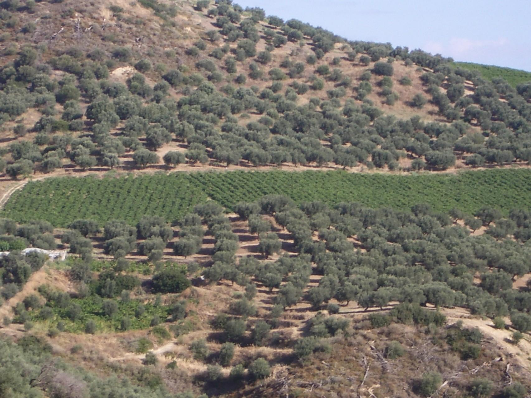 Olivenhaine und Weinberge umgeben Kerinia