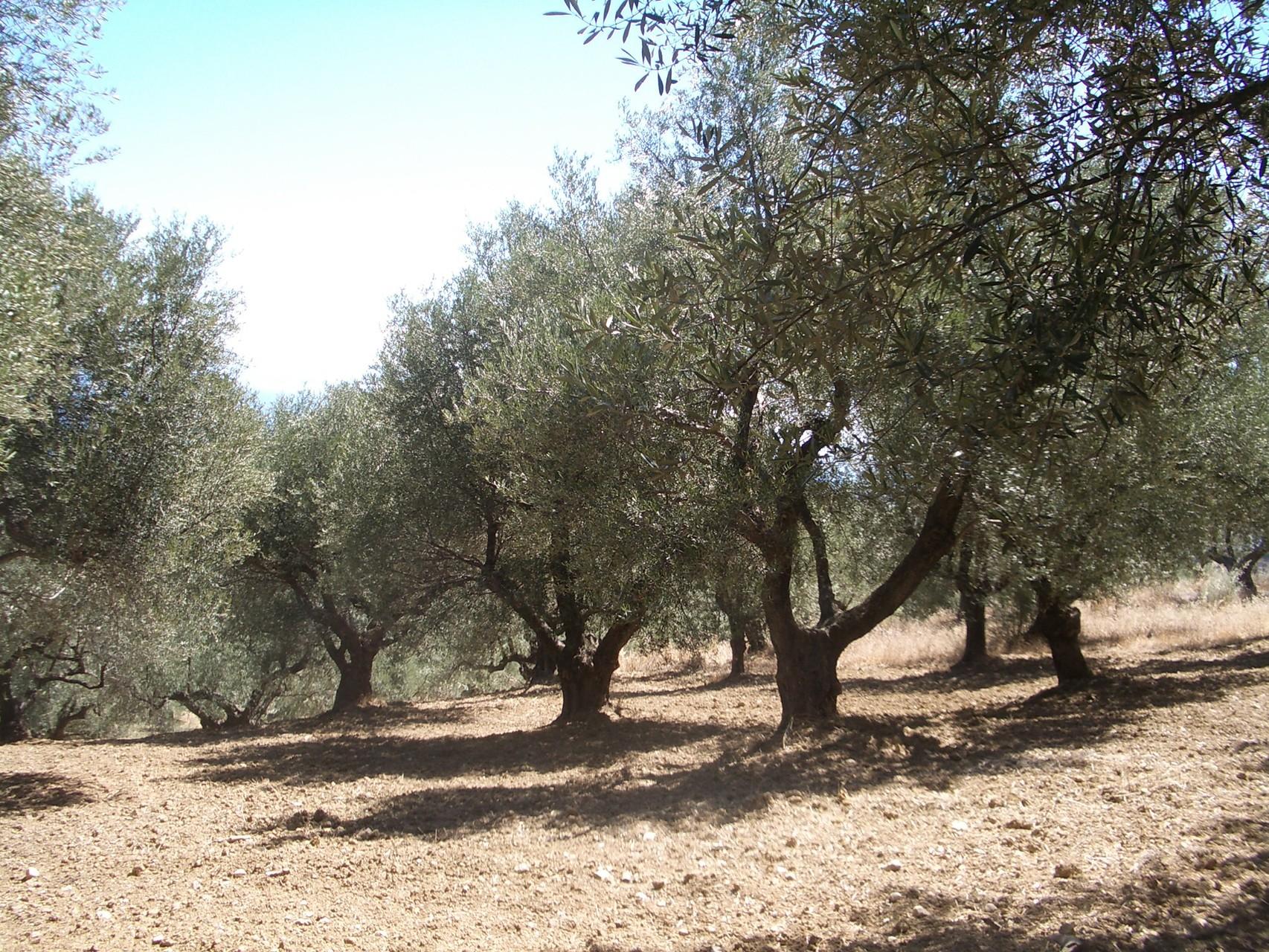 Olivenhain hinterm Haus