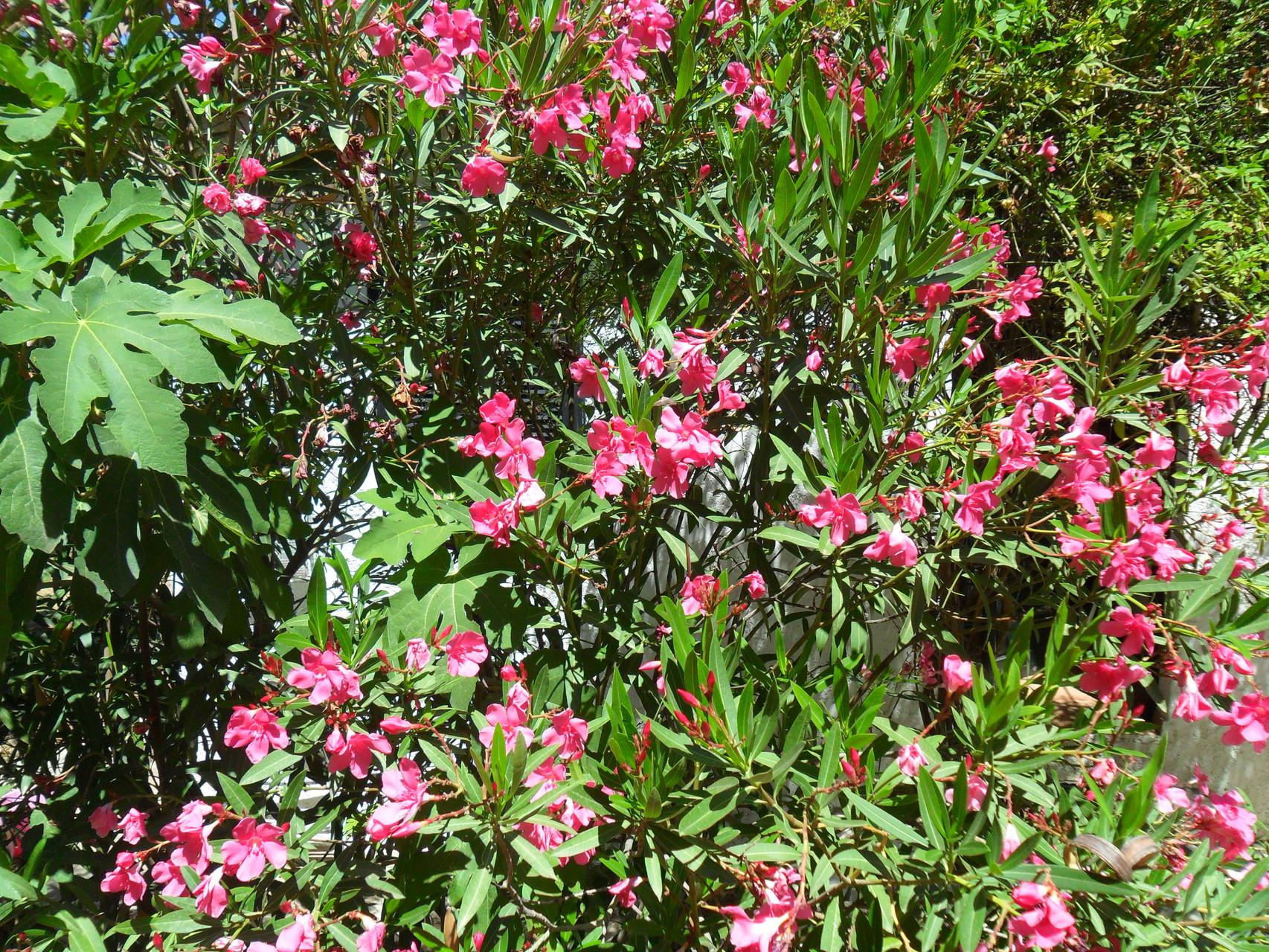 Oleanderblüte im Hausgarten