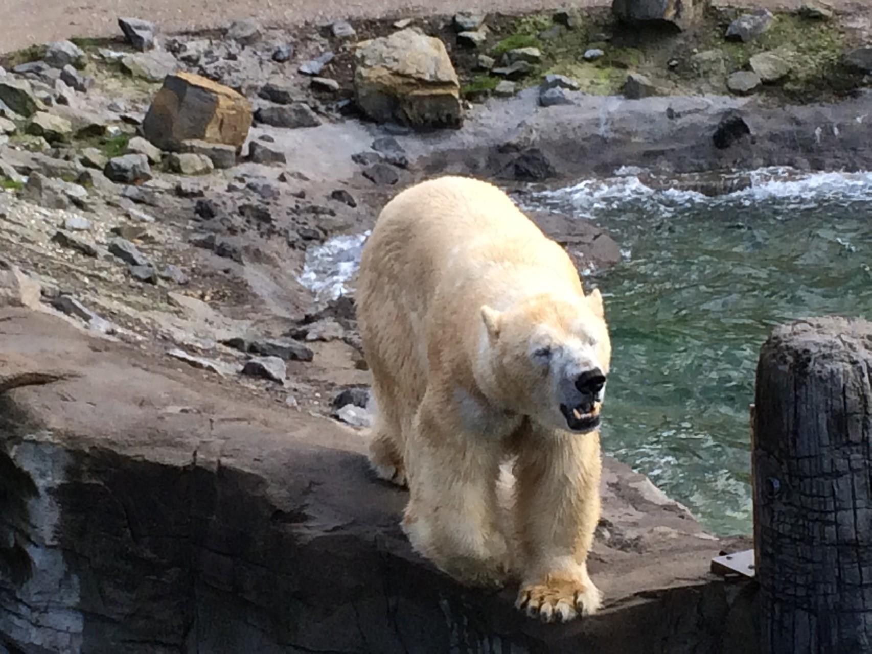 Gigantisch dieser Eisbär.