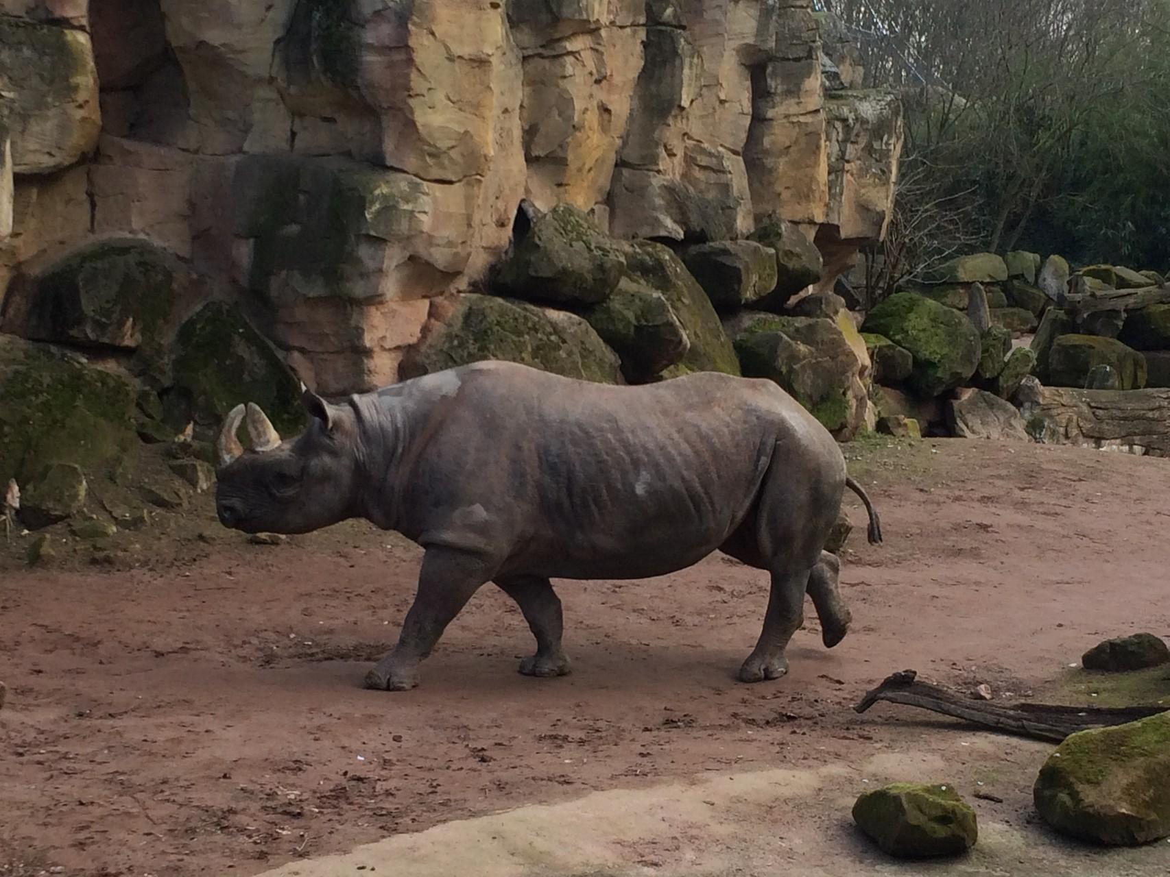Das gigantische Nashorn.