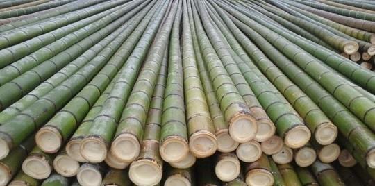 牡蠣養殖筏竹