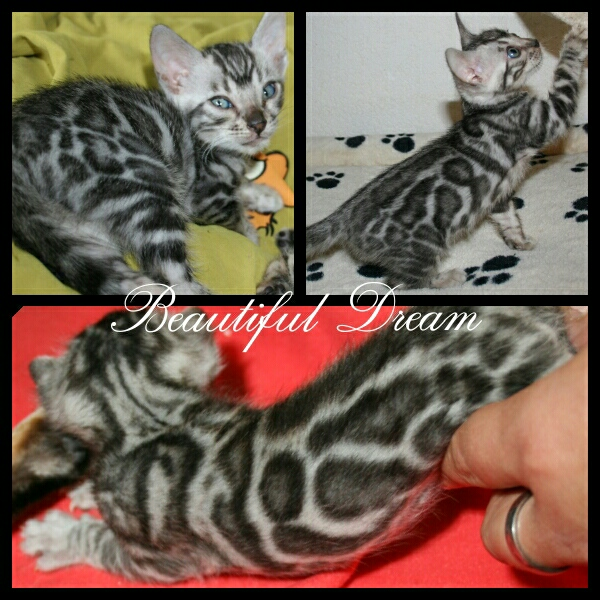 Black silver  spotted Katerchen