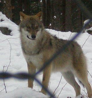Ein Rudel Wölfe von insgesamt von 12 Tieren war für Rocky & Sky am interessantesten. Die haben sie schon von weitem gerochen. Unsere Beiden wollten am liebsten rein zu ihnen, es haben immer bis zu zwei Wölfen Blickkontakt zu Rocky & Sky gehalten.