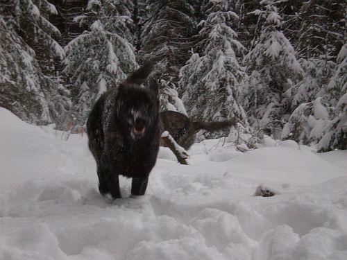 Fiby flitzt durch den Schnee:o)