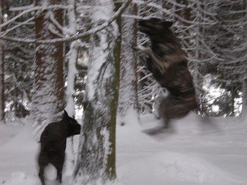 Für Sky liegt noch nicht genug Schnee am Boden, der auf den Bäumen muss auch runter und Fiby schaut zu, was er da macht! Schnee verleiht Flügel;o)