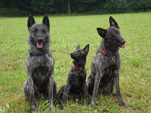 Sky & Fiby & Kaylee Drei wundervolle Herder