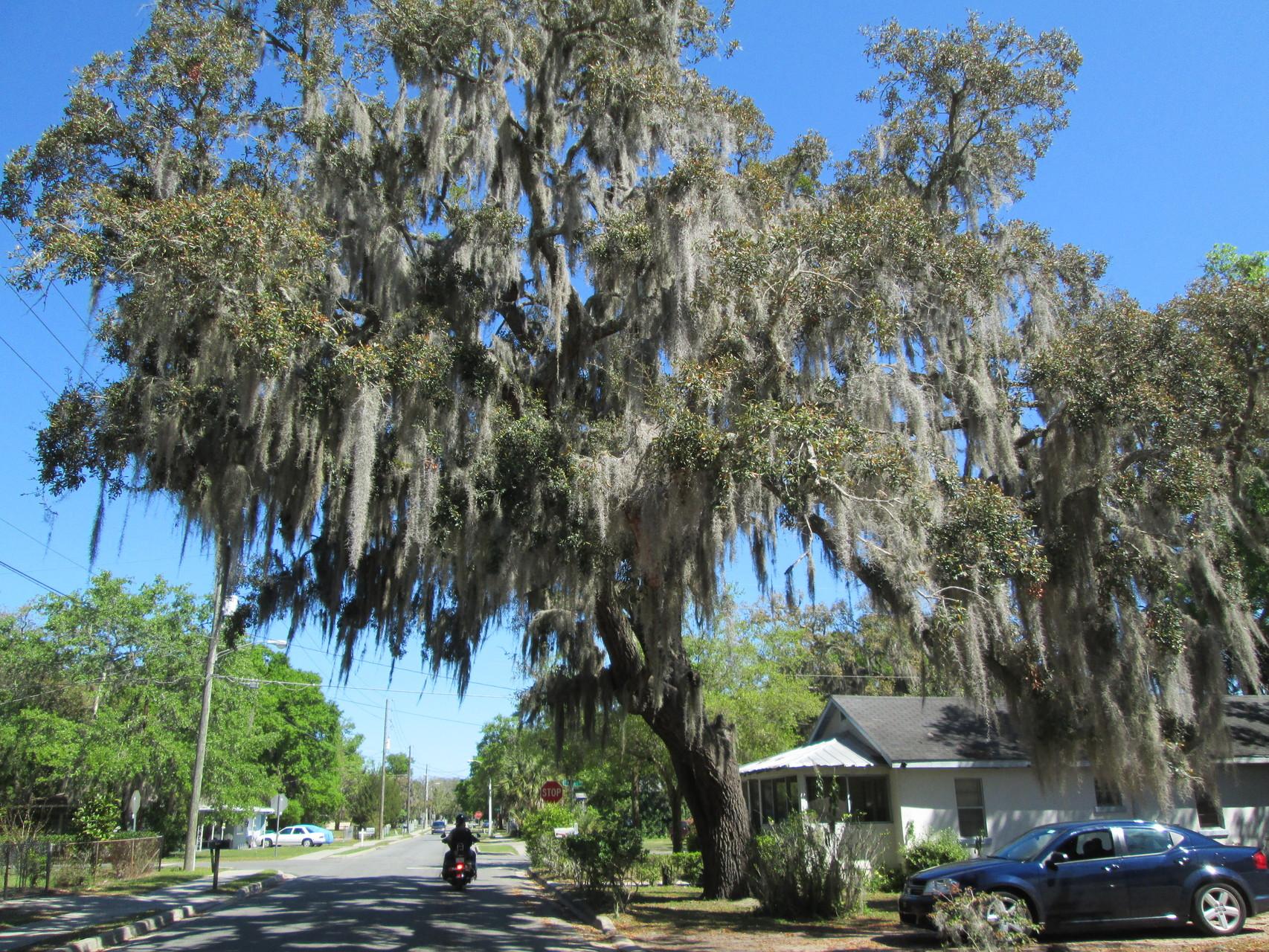 Die Geisterbäume in Florida