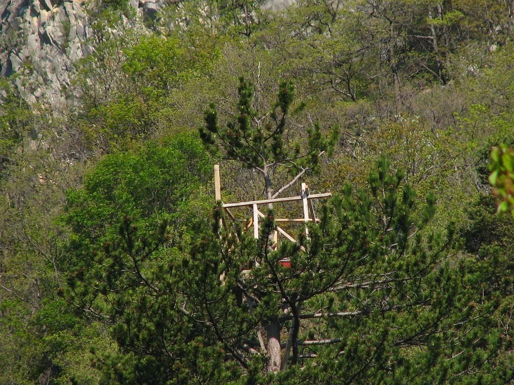 affut dans les arbres pour tuer le senglier