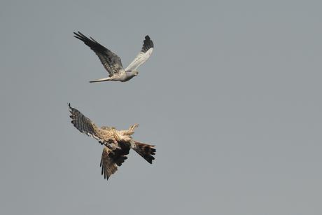 Balzflug der Wiesenweihe (Foto:J.Baumgartner)