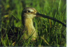 Großer Brachvogel (Foto: Werner Oertel)