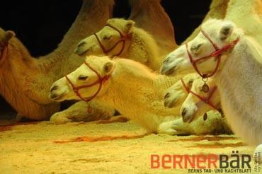 © Carmen Weder, Fotografie, Bern - Bernerbär - Zirkus Knie, Kamel