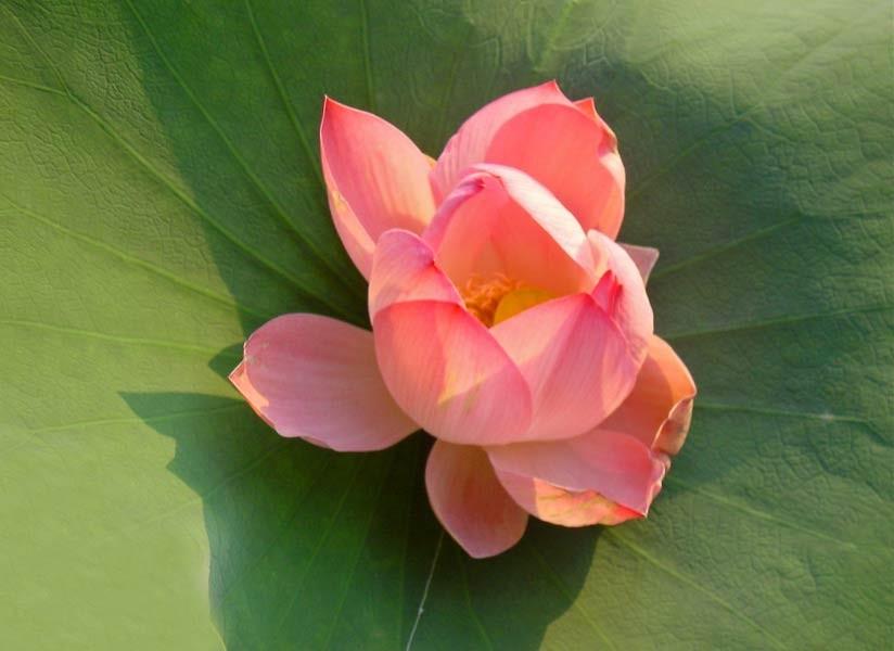 Lotusblume, Dal Lake, Kashmir, Indien, © Carmen Weder