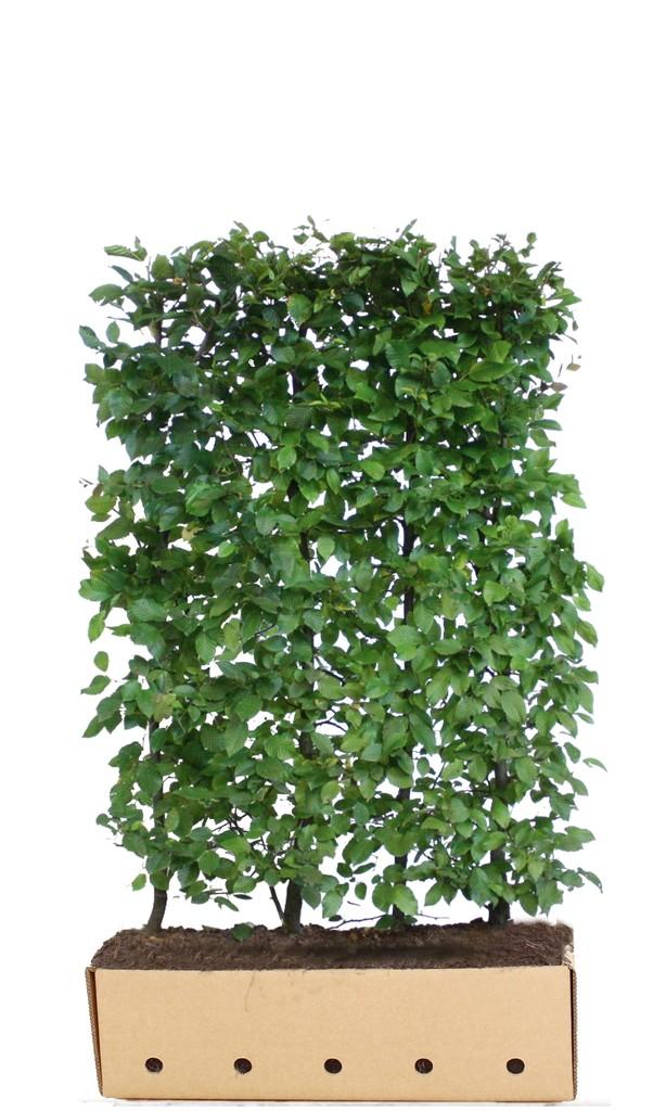 fertighecke hainbuche carpinus betulus fertighecken. Black Bedroom Furniture Sets. Home Design Ideas