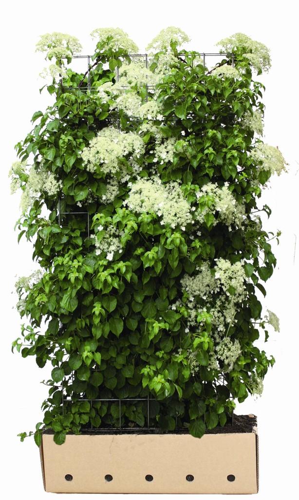 fertighecke hainbuche carpinus betulus fertighecken versand pflanzenhandel thelen. Black Bedroom Furniture Sets. Home Design Ideas