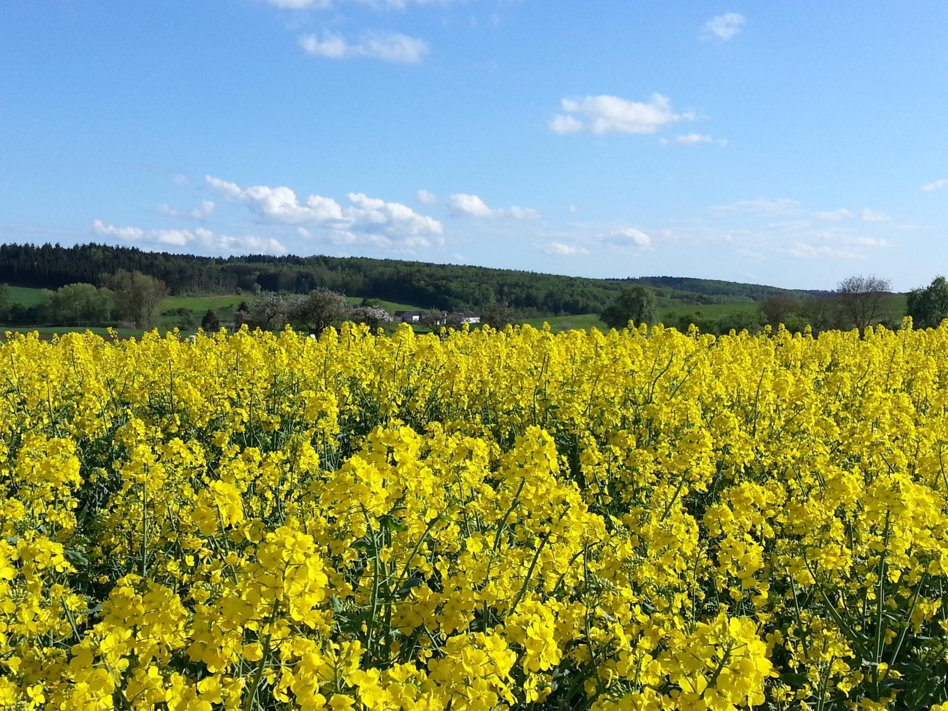 Rapsfeld mit Blick auf unseren Hof