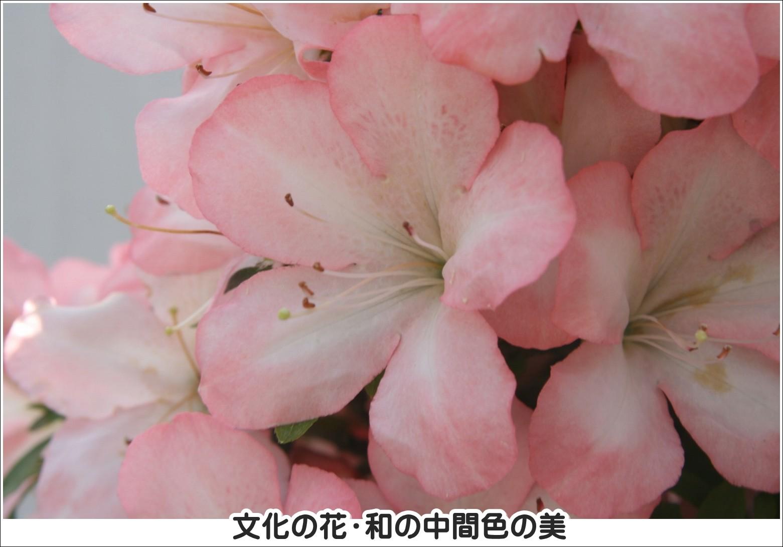 文化の花・和の中間色の美