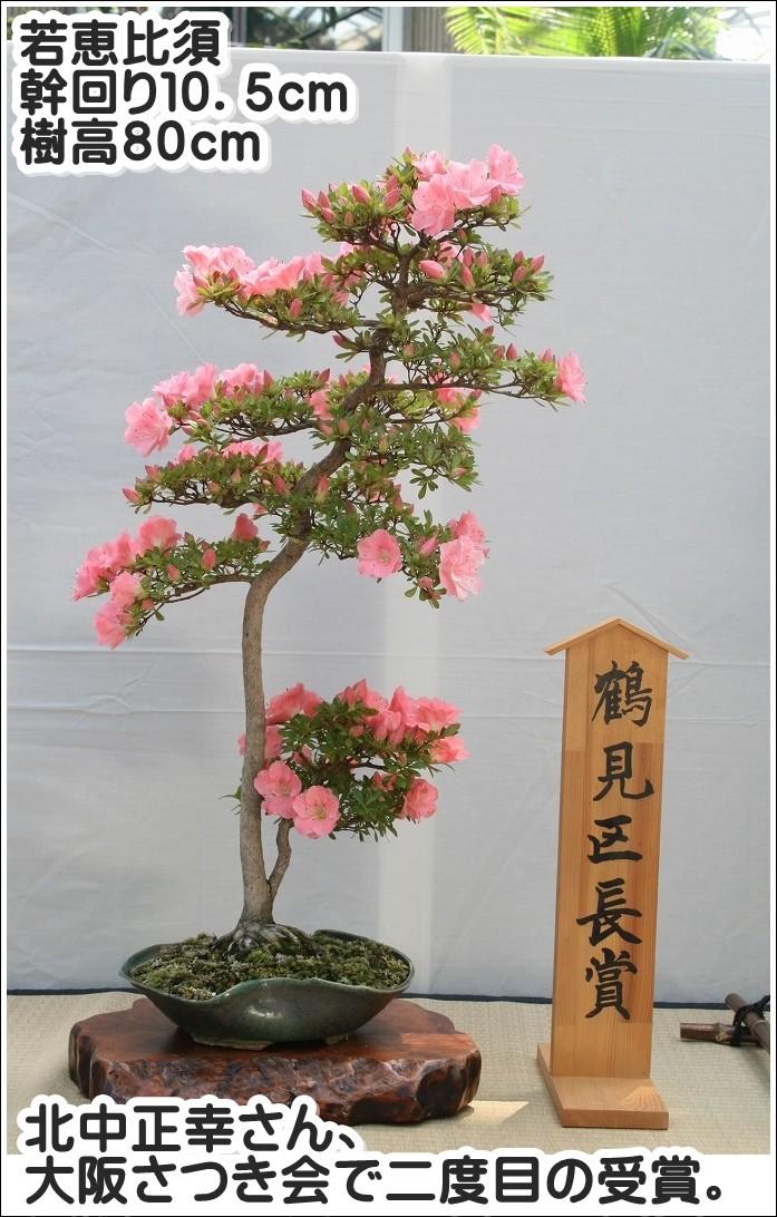 北中正幸さん、大阪さつき会で二度目の受賞。