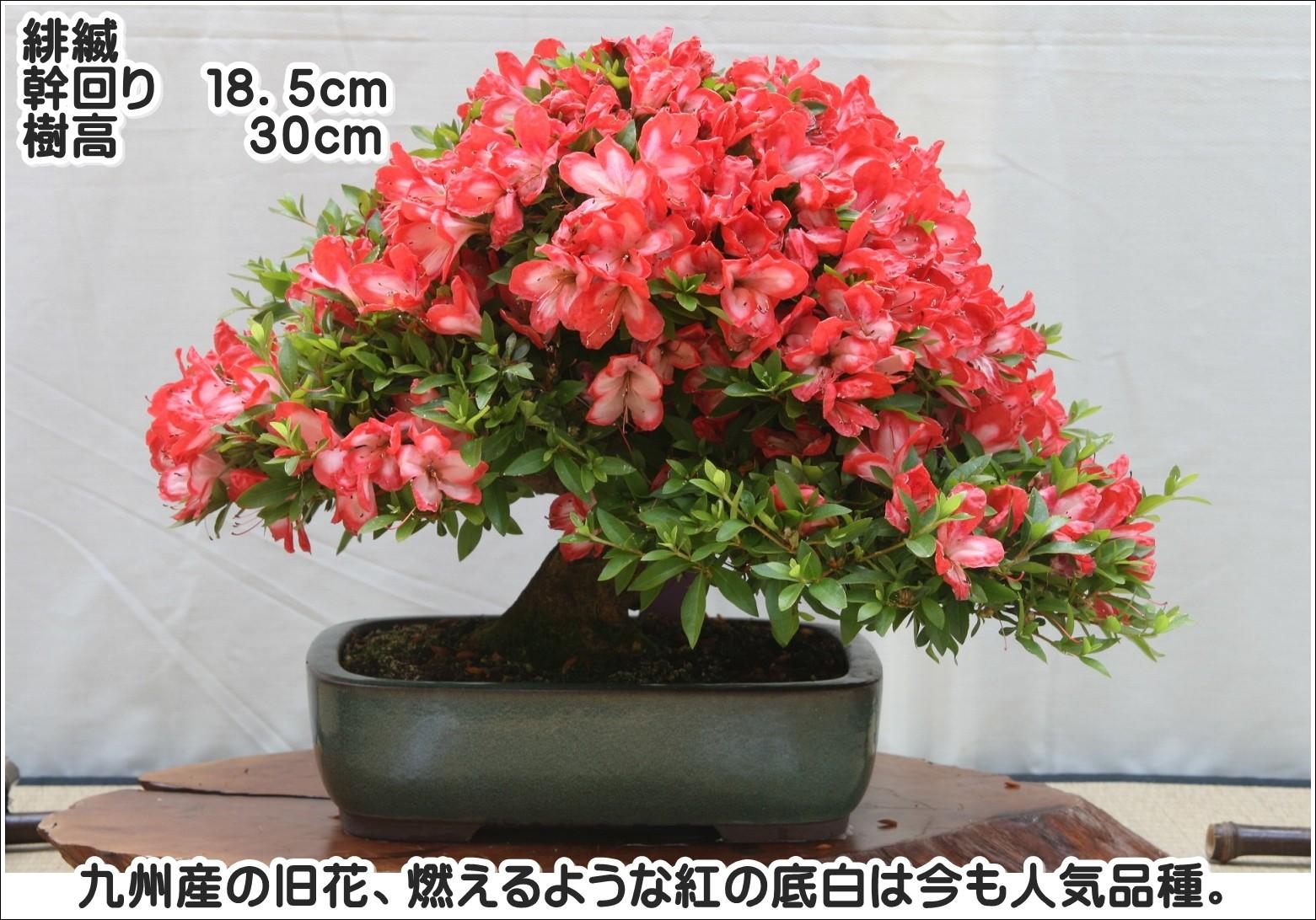 九州産の旧花、燃えるような紅の底白は今も人気品種。