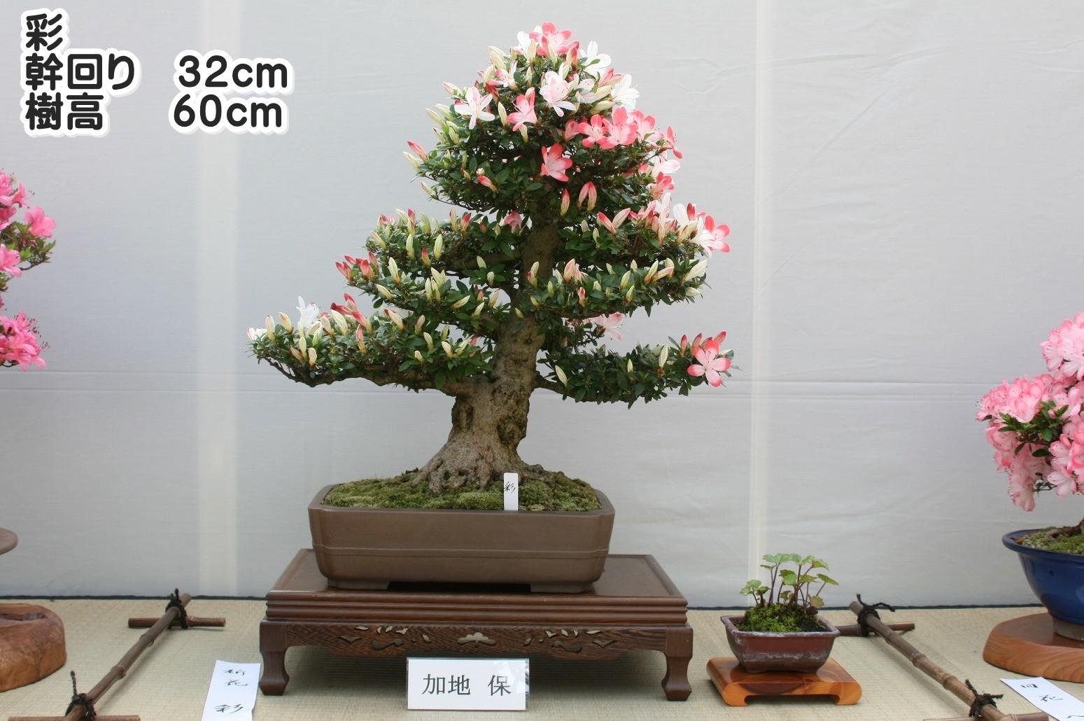 彩 幹周り32cm 樹高60cm