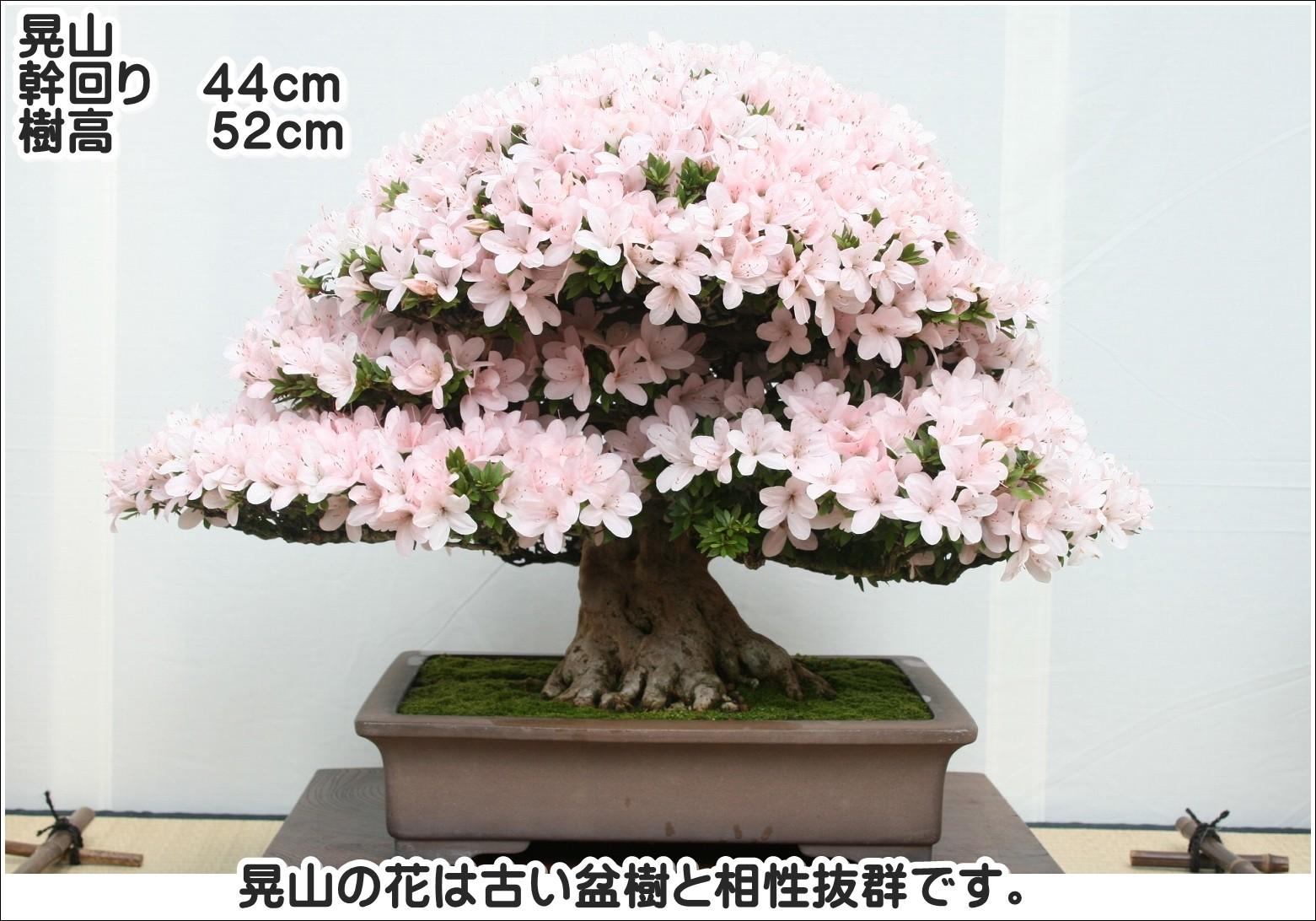 晃山の花は古い盆樹と相性抜群です。