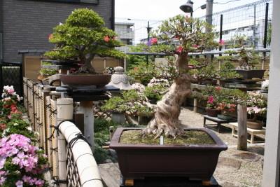 光華園のさつき盆栽は回転率が高く、いつ訪れても新しい木が入荷している