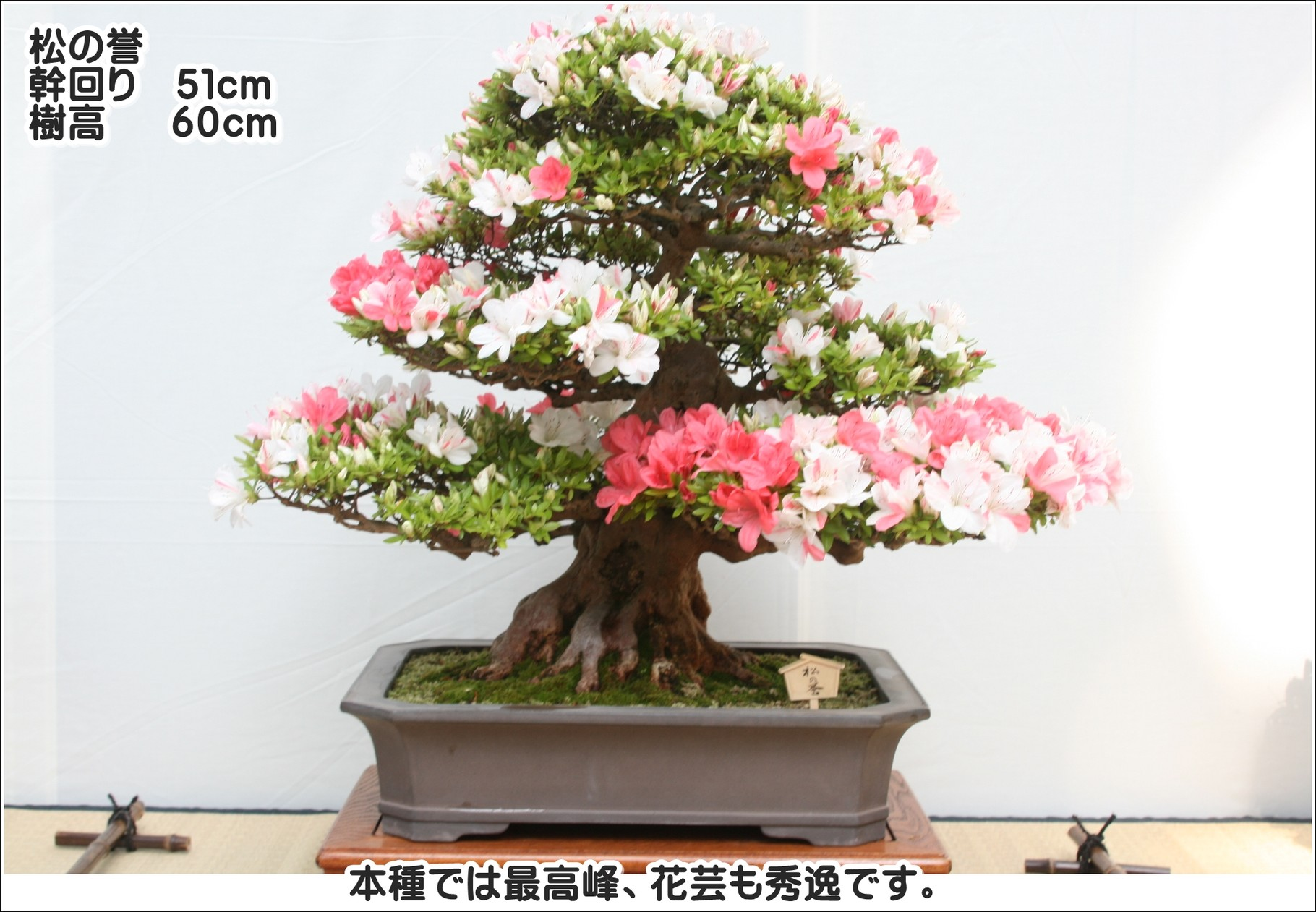 本種では最高峰、花芸も秀逸です。