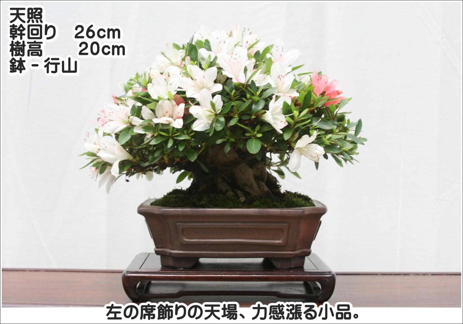 天照 幹周り26cm 樹高20cm 鉢-行山 左の席飾りの天場、力感漲る小品。