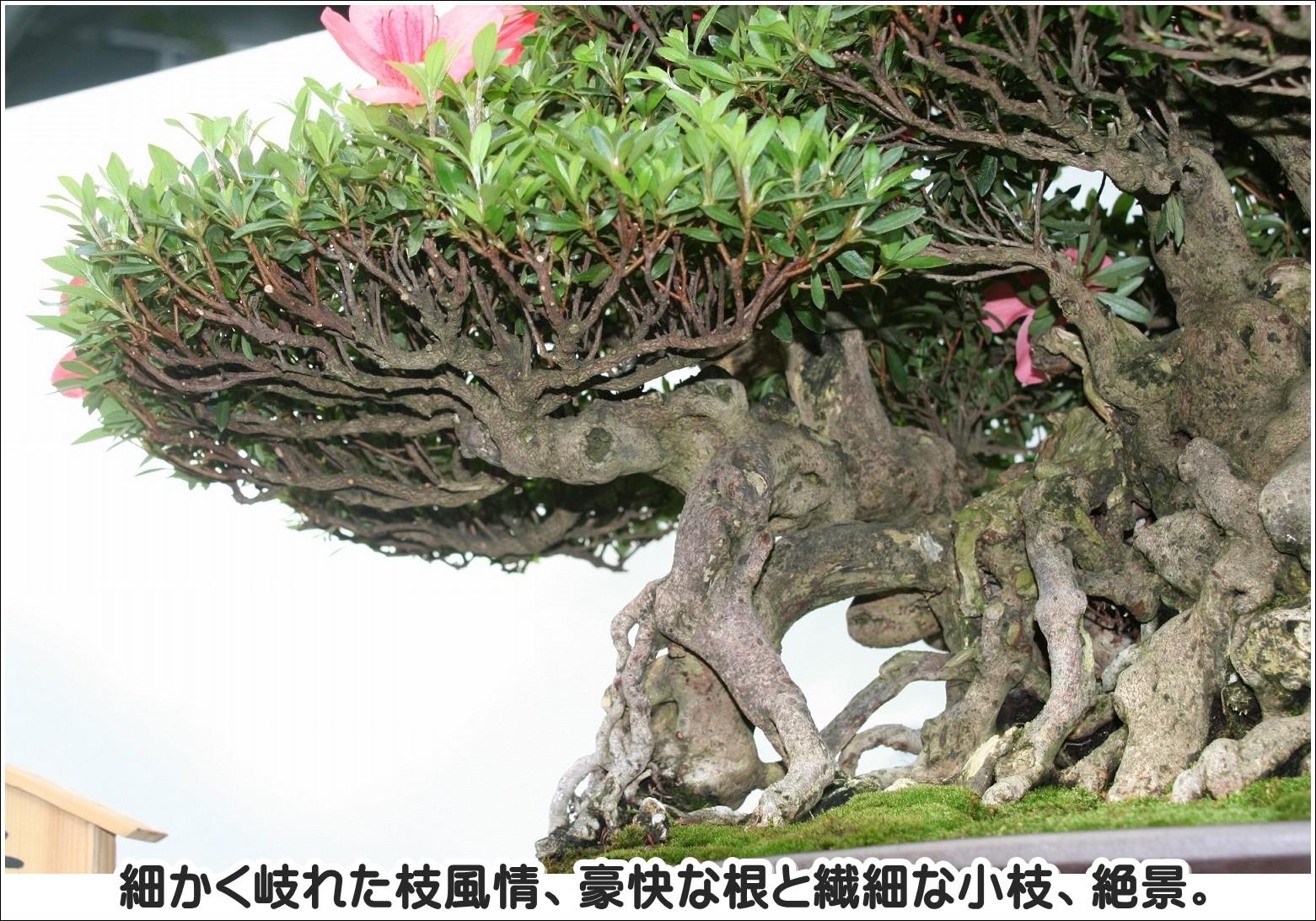 細かく岐れた枝風情、豪快な根と繊細な小枝、絶景。