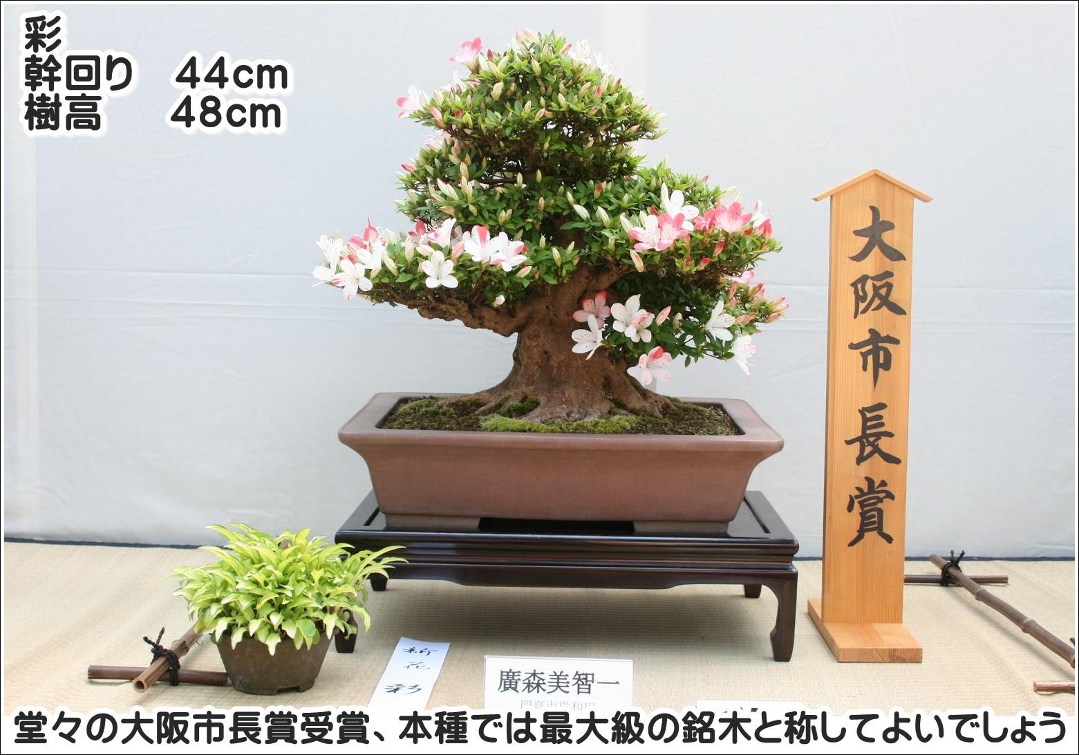 堂々の大阪市長賞受賞、本種では最大級の銘木と称してよいでしょう