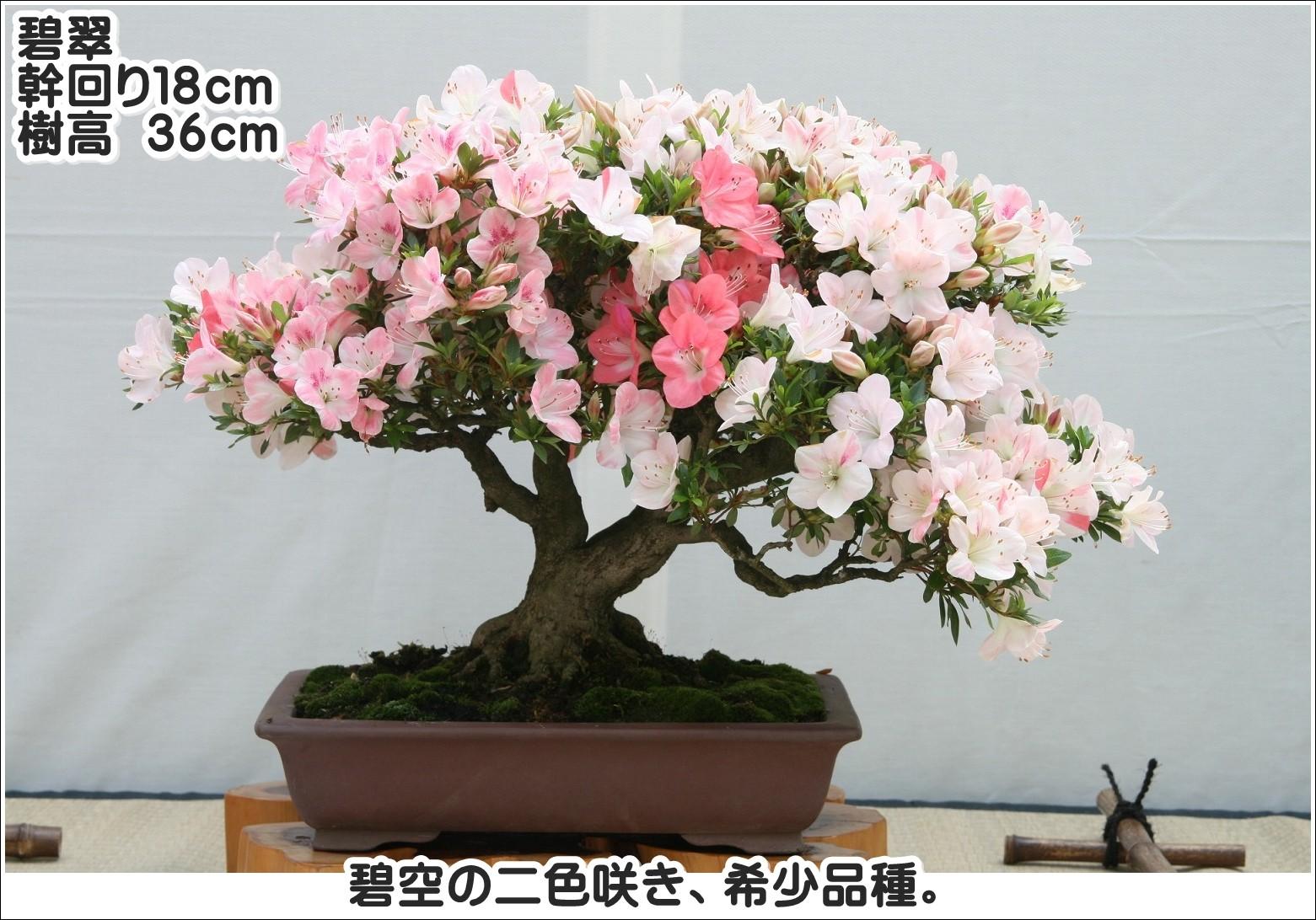 碧空の二色咲き、希少品種。