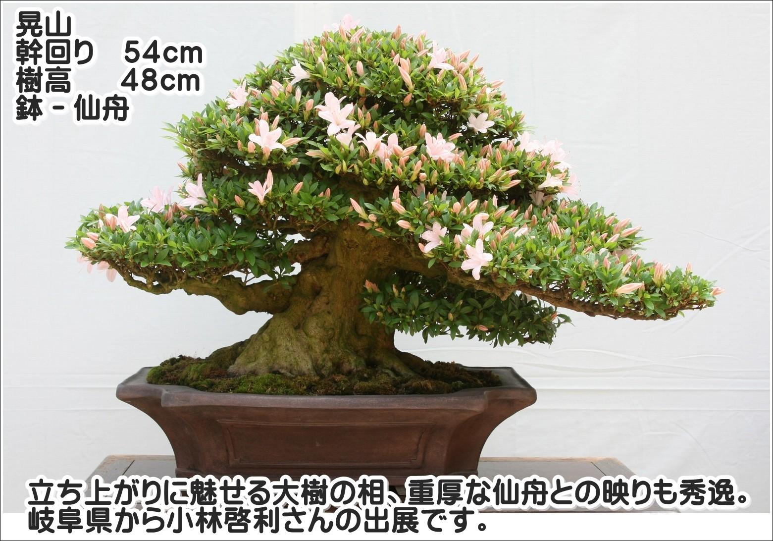 立ち上がりに魅せる大樹の相、重厚な仙舟との映りも秀逸。岐阜県から小林啓利さんの出展です。