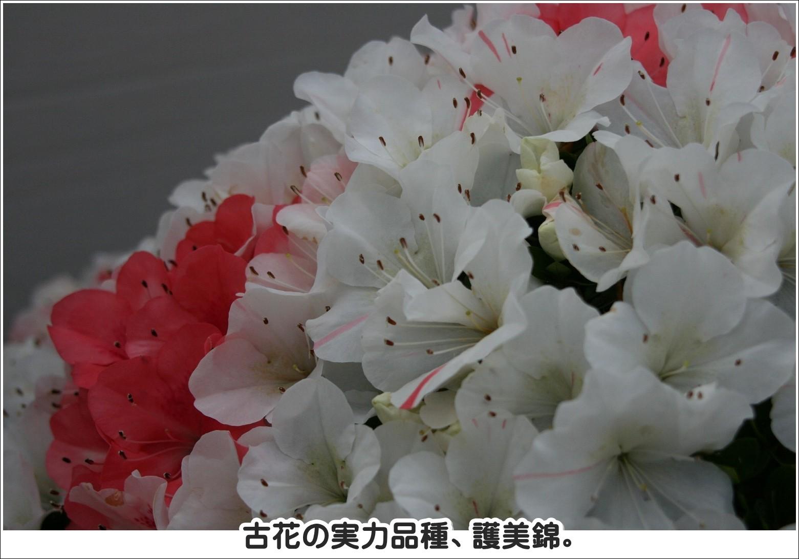 古花の実力品種、護美錦。