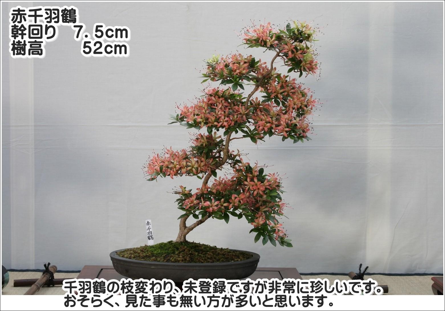千羽鶴の枝変わり、未登録ですが非常に珍しいです。おそらく、見た事も無い方が多いと思います。