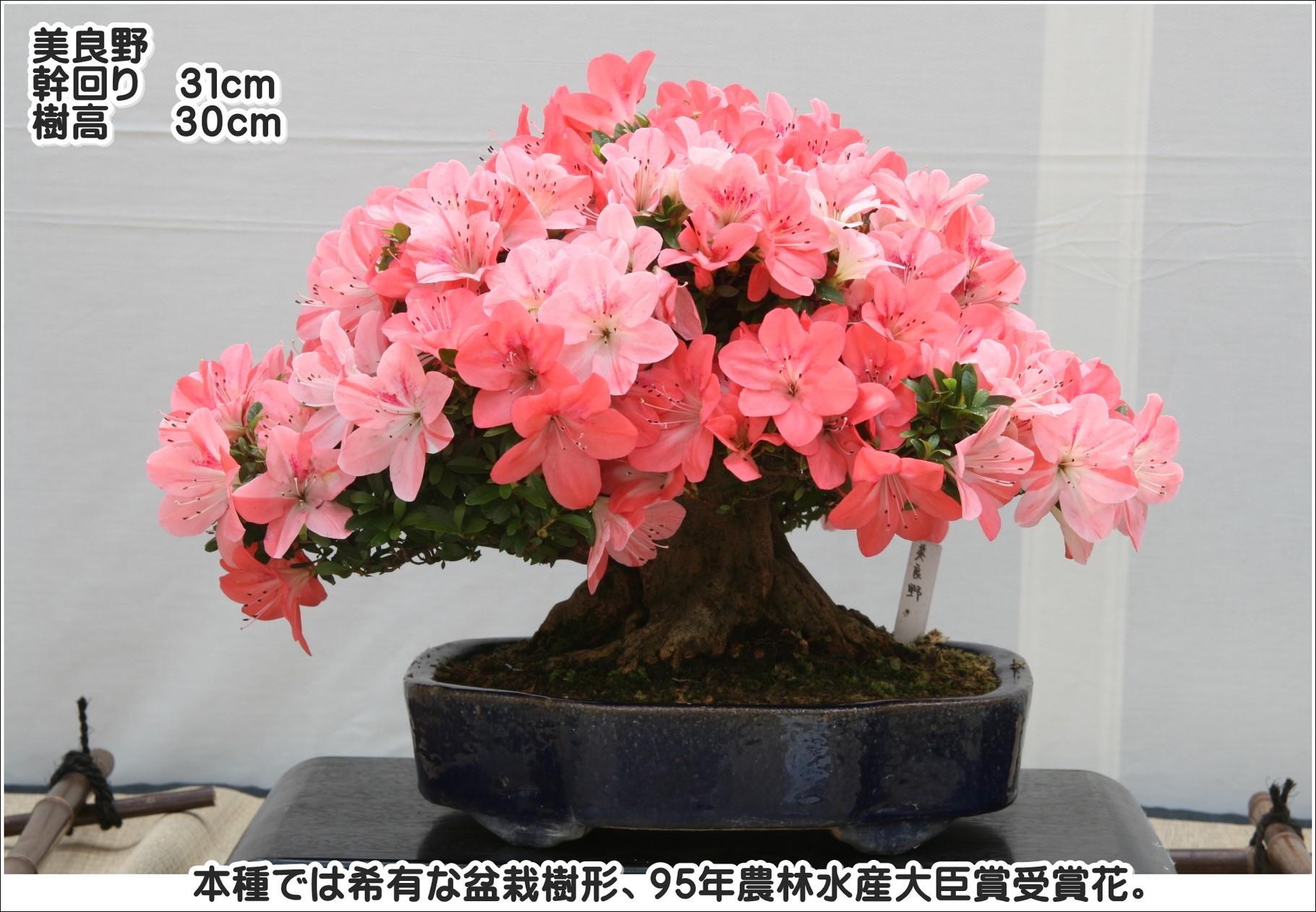 本種では稀有な盆栽樹形、95年農林水産大臣賞受賞花。