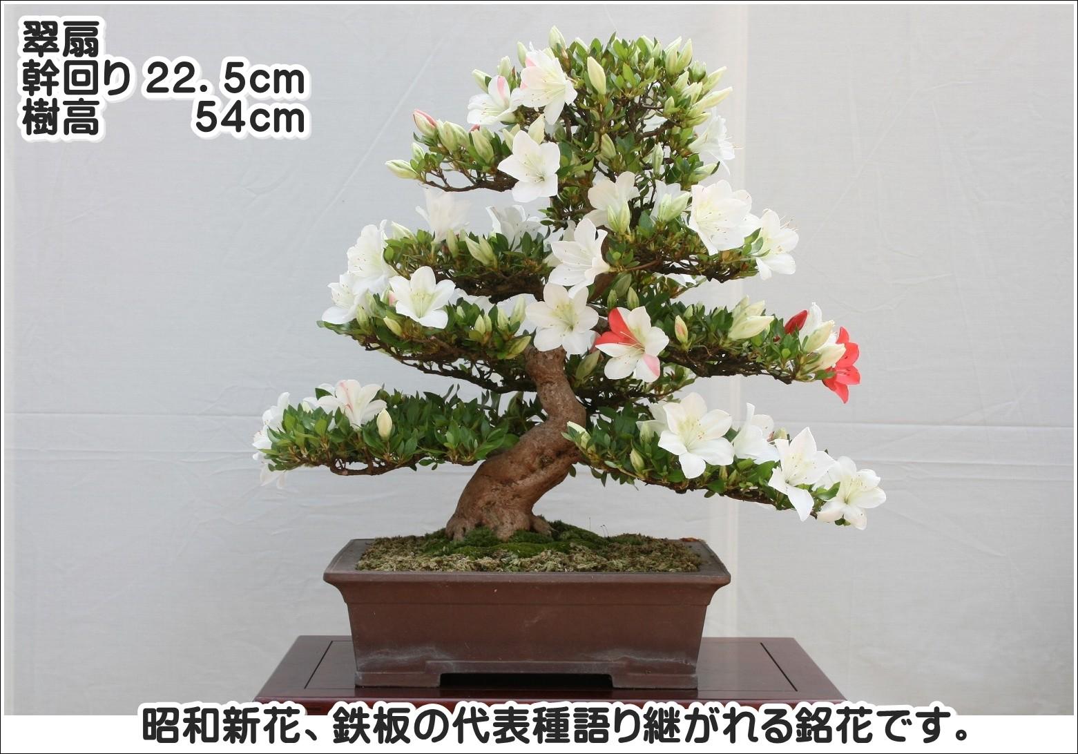 昭和新花、鉄板の代表種語り継がれる銘花です。